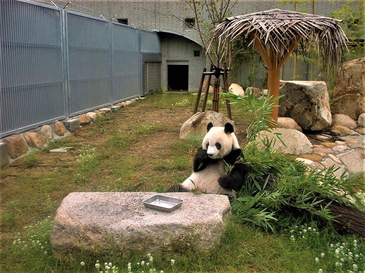いつものところでお食事中のタンタンさん。…みなさんお気づきですか?実は1枚目はタンタンの5歳の写真です!2、3枚目が現在(24歳)です。運動場は少し変わりましたが、タンタンのかわいらしさは変わらないですね!#きょうのタンタン #王子動物園#休園中の動物園水族館 (5/31まで休園中)