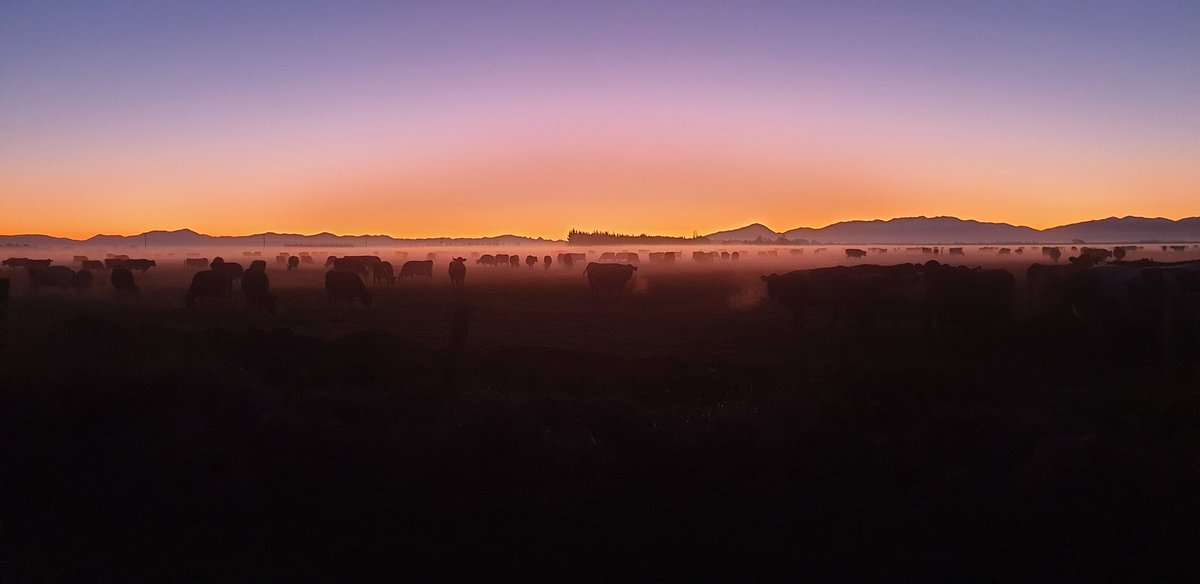 Driving home and had to stop and take a pic .... Cows grazing after Sunset with a ground fog gaining momentum.  Dromore Canterbury  27/5  #southeralps