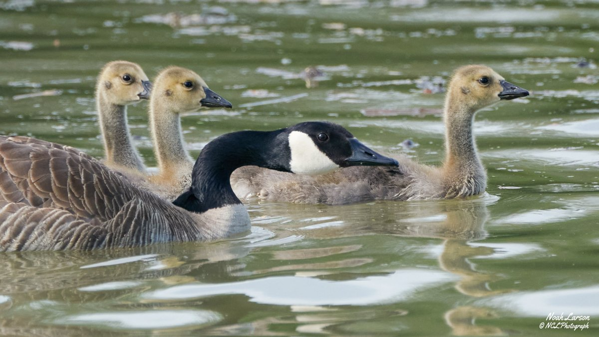 A family of Canada Geese swimming across a lake at an Ohio State Park, on memorial day. Moments before, the parents were angrily honking at nearby humans traveling by canoe.   5/25/2020 #birds #NaturePhotographypic.twitter.com/nLD1KBulYo