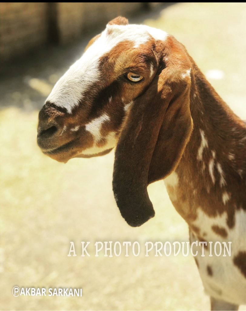 """""""White & Brown Goat"""" had to be Captured 2/3 . . #goat #natural #myhome #animals #likesforlike #likeforlikes #like4likes #likeforfollow #likeforlikeback #likexlike #liked #tbt #likeforlikes #like4likes #likeme #myphotography #akphotoproduction #akbarpic.twitter.com/GBRf5rS0mE"""