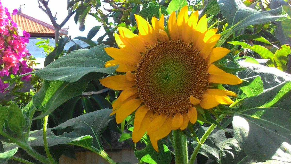 Sunflower 💚