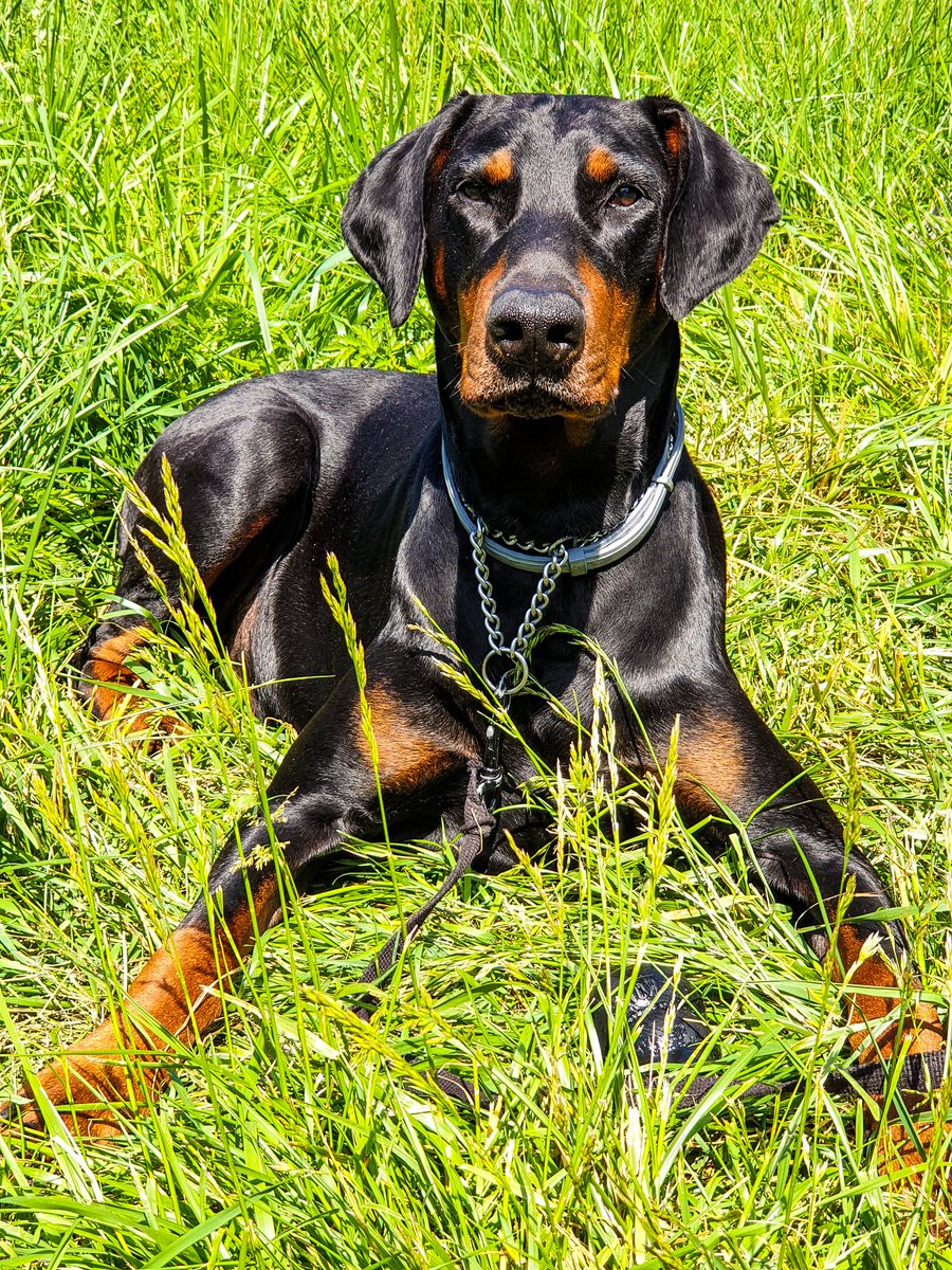 Good morning friends ! I'm patiently waiting for Ghis to come back from work, have a great day #doberman #dogsoftwitter #France  pic.twitter.com/kEPXz4vJCV