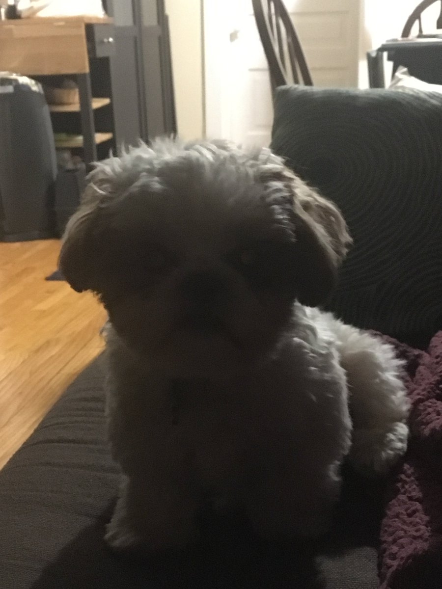 Lighting makes all the difference! Hope your day is happy and bright!   #dogsoftwitter #shihtzu #puppy #eggboy #possessed #gooddaypic.twitter.com/lNpXBXKU8H