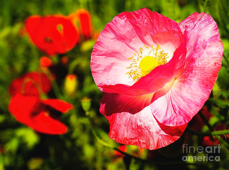 #Pink #Poppy In The Meadow. by #AlexanderVinogradov https://buff.ly/2LYVHDH  #Thankyou4RETWEET #botanical #garden #nature #gardening #alexander_vinogradov_photography #flowers #fleurs #fiori #цветы #blumen #floral #flowers_photography #Repost #onlineshopping #wallart #homedecorpic.twitter.com/pGpF96WCZQ