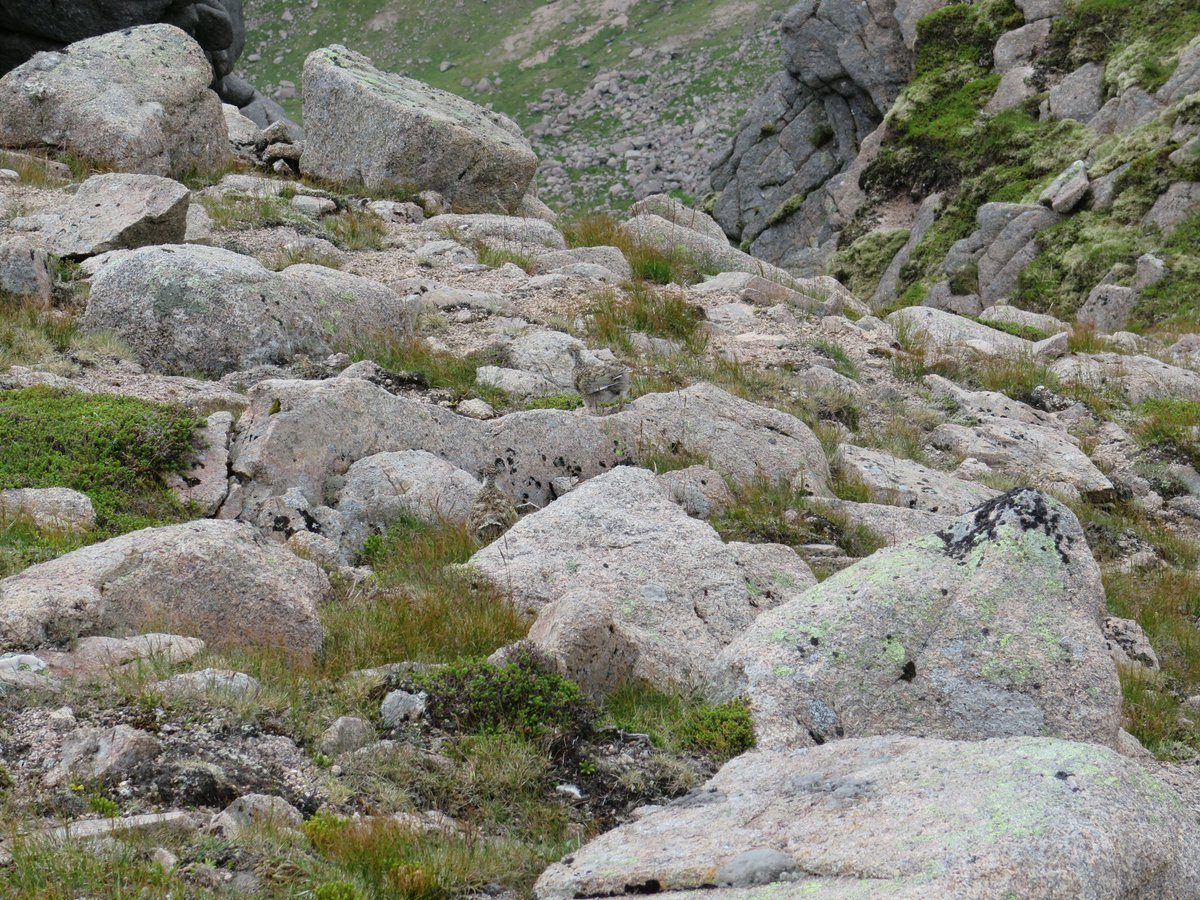 #PiningForTheHills #PiningForTheRocks  Garbh Choire, Beinn a' Bhuird, July 2017. There are at least 2 ptarmigan in this picture  #Camouflage pic.twitter.com/lUtya2P37W