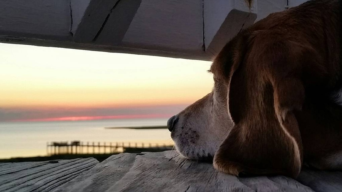 Waiting for your next #OBX vacation like ... (📷: Bodie The Beagle) https://t.co/I8OW76wAPI