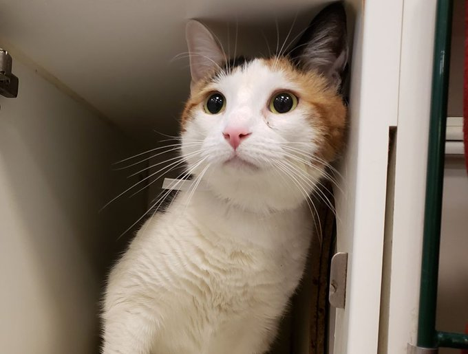 Please #adopt or #foster or #pledge!  #pledge for #rescue!  #pledges save lives!    #Affectionate #social DAISY FLORA lived with another cat!  She followed owner around, slept on bed with owner.    #NYC #cats #sweetheart