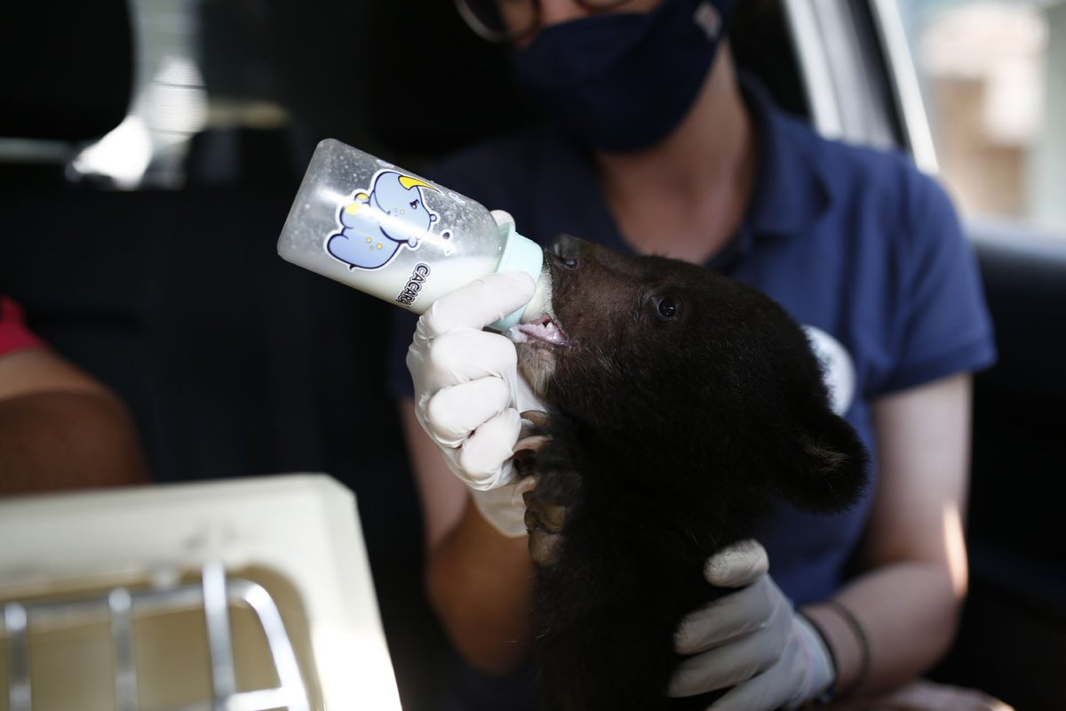 🆘 Bear cub rescued from illegal wildlife trade in Vietnam 🐻 🍼  Luckily together with the Vietnamese authorities and our local partner @edu4naturevn we could react so quickly & ensured Mochi was taken to #BearSanctuaryNinhBinh ➡️ https://t.co/upuYOFxCvZ 📸 Hoang Le   FOUR PAWS https://t.co/UQdOZGYQpf