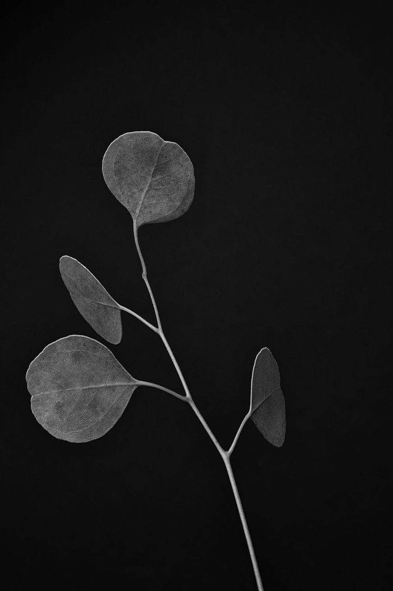 Last night I decided to try making a eucalyptus branch look interesting. I'm not sure that I succeeded, but it was fun... Used my Nikon Z6 and the 24-70mm 2.8 S lens . @NikonUSA @pexels #blackandwhitephotography #nikonz6 #Boisepic.twitter.com/JopPULRnmX