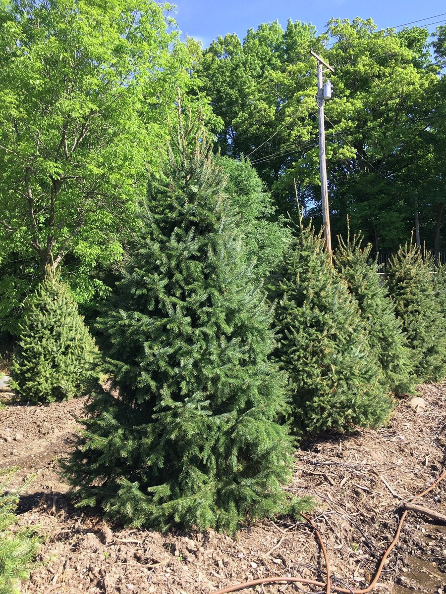Serbian Spruce is an elegant evergreen tree that can act as a specimen in the landscape. Serbian Spruce has glossy dark green needles with slender streaks of white. We have 6' & 8' available!  𝗛𝗲𝗶𝗴𝗵𝘁: 50-60 feet 𝗪𝗶𝗱𝘁𝗵: 20-25 feet  𝗟𝗶𝗴𝗵𝘁: Full to Partialpic.twitter.com/hO5LvxkMaU
