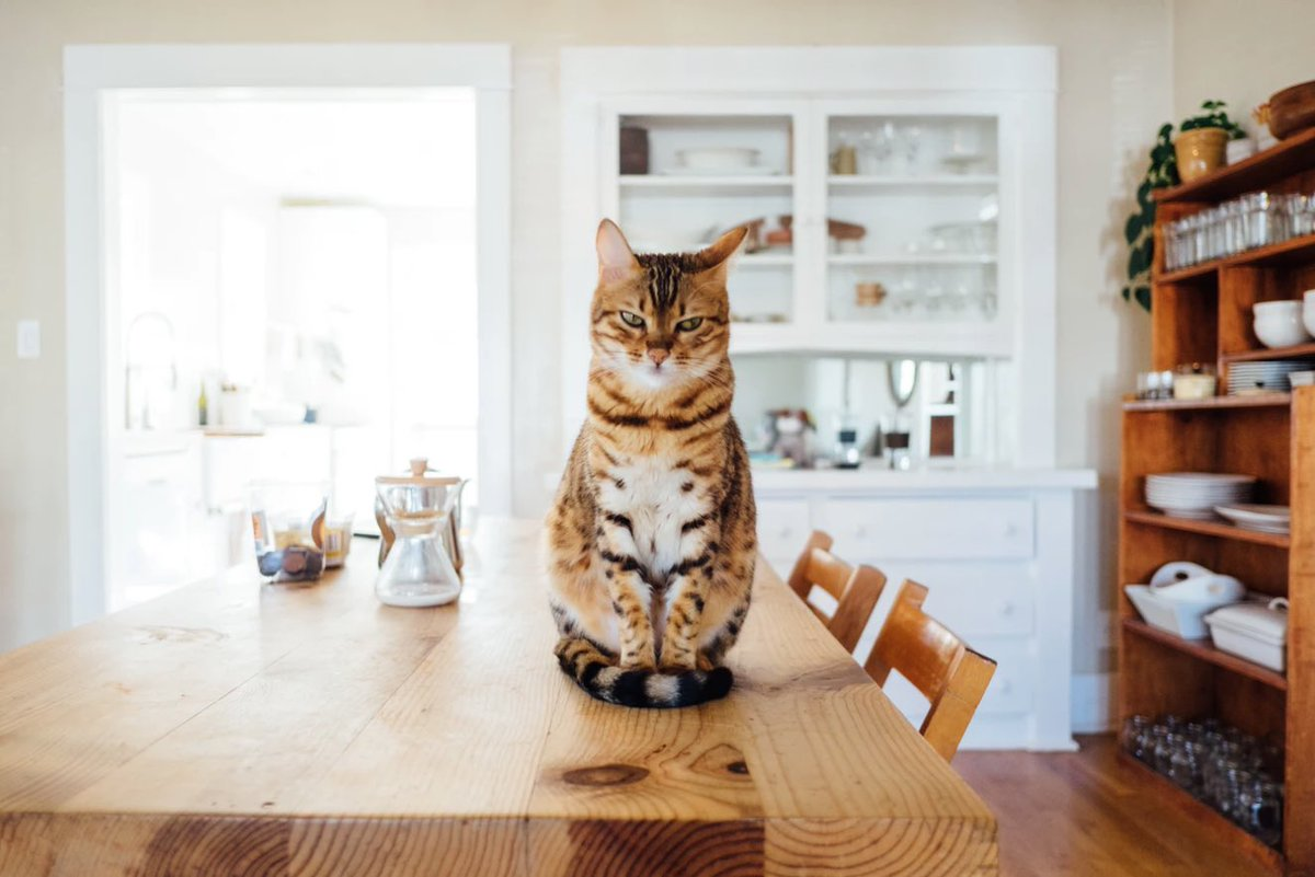 "Kitchen Kitty Asks: ""Hey what's for dinner?""⠀ ⠀ How would you caption this photo?⠀ ⠀ #WednesdayVibes https://t.co/27WrpG7AdK"