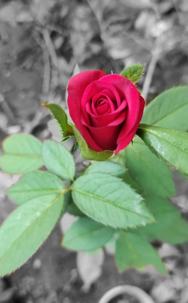 Black and white Rose#PhotosOfMyLife #TamilNadu #photographervillagers #mobilephotographypic.twitter.com/xLf5LyVkKU
