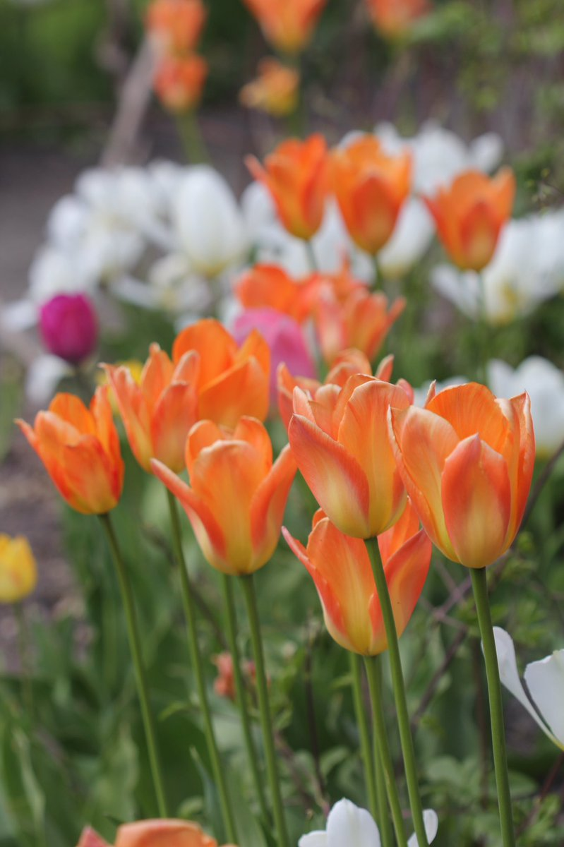 Hope you can take some more #Tulips from my neighbor #Botanicalgarden in #Oslo... pic.twitter.com/oRj25vA16U