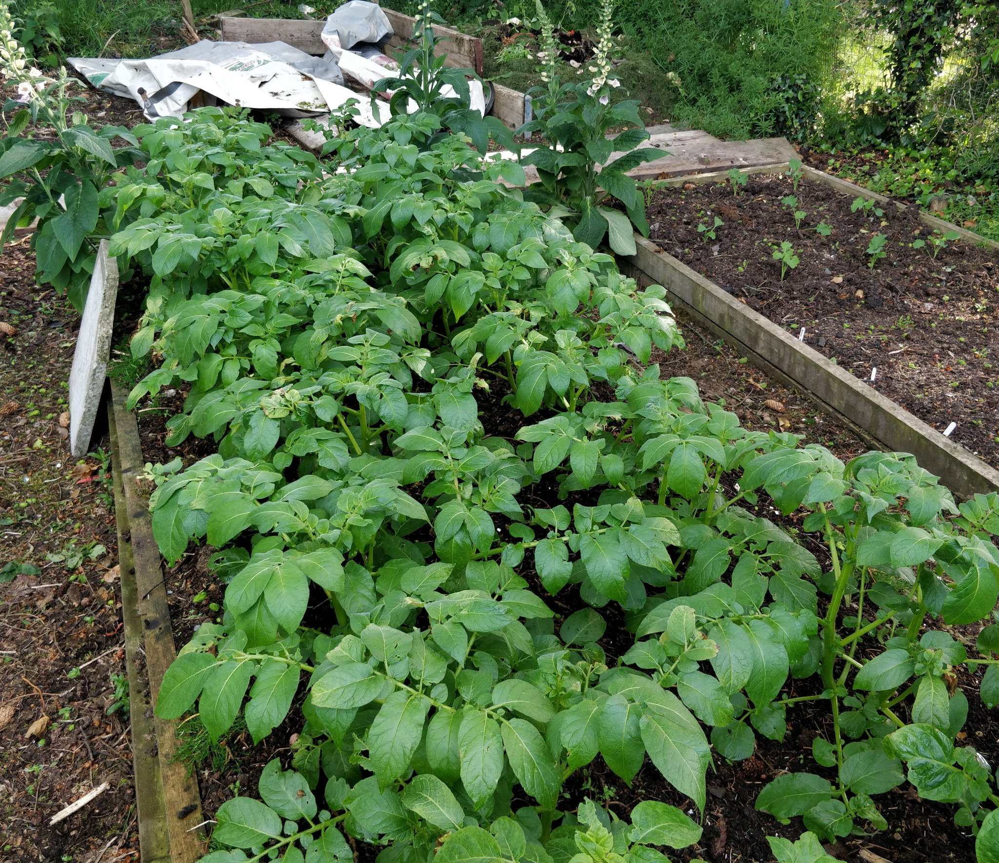 Potatoes on left planted slightly later (4/4) and avoided the worst of the frost. On the right planted earlier (23/3) hit hard but now recovering. A later planting has been of benefit here 🌱 #growyourown #gardening https://t.co/hcpXQlgIig