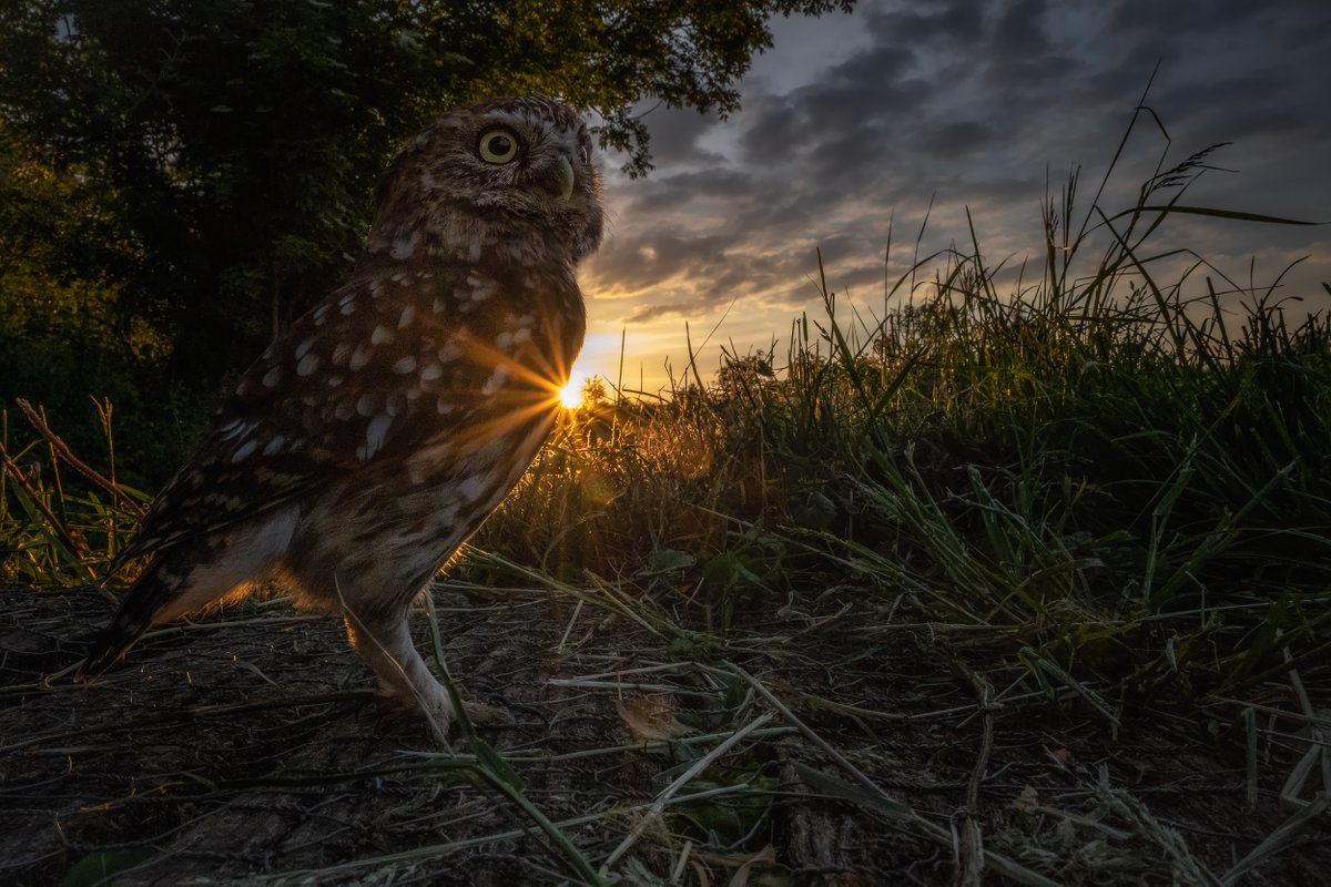 Without doubt, one of my most dramatic Little Owl images I've captured. This is the first in my series of wide angle wildlife images with a video on how I captured this image coming very soon. The image was captured using a @FUJIFILM_UK XT3 at 18mm. #wildlife #photography #owlspic.twitter.com/RlTSbN2TfR