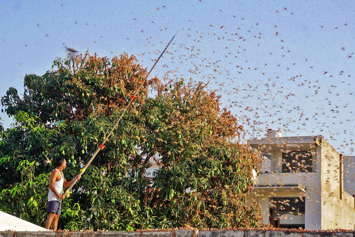 A swarm of locusts is descending on India at an already tough time. #ClimateChange is making extreme rainfall more common, which creates the perfect breeding conditions for desert locusts, like with the recent outbreak in East Africa. bit.ly/3eqrido via @nytimes