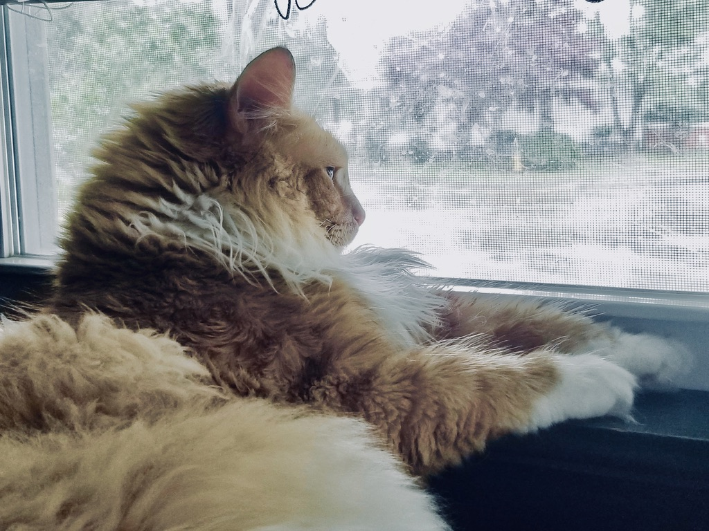 Had a great midmorning nap and now I get to watch the rain from my favorite spot  #LordTaters #CatsOfTwitter #cat #floof #fluffy #orangecat #kitty #rain #rainydays #animals pic.twitter.com/CNWBA5IbIx