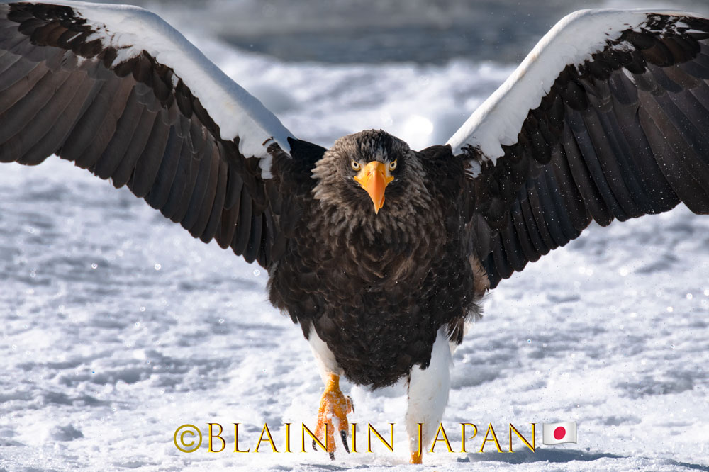 Steller's Sea Eagle - Pack-ice, 'nuff said #Japan #visitjapan #japanfocus #photography #birding #birdingphotography #packice #travel #travelphotography #stellersseaeagle #japandreamscapes #日本 #バードウォッチング #オオワシ #旅 #旅行 #ファインダー越しの私の世界 #北海道pic.twitter.com/Iar4cxpIq1