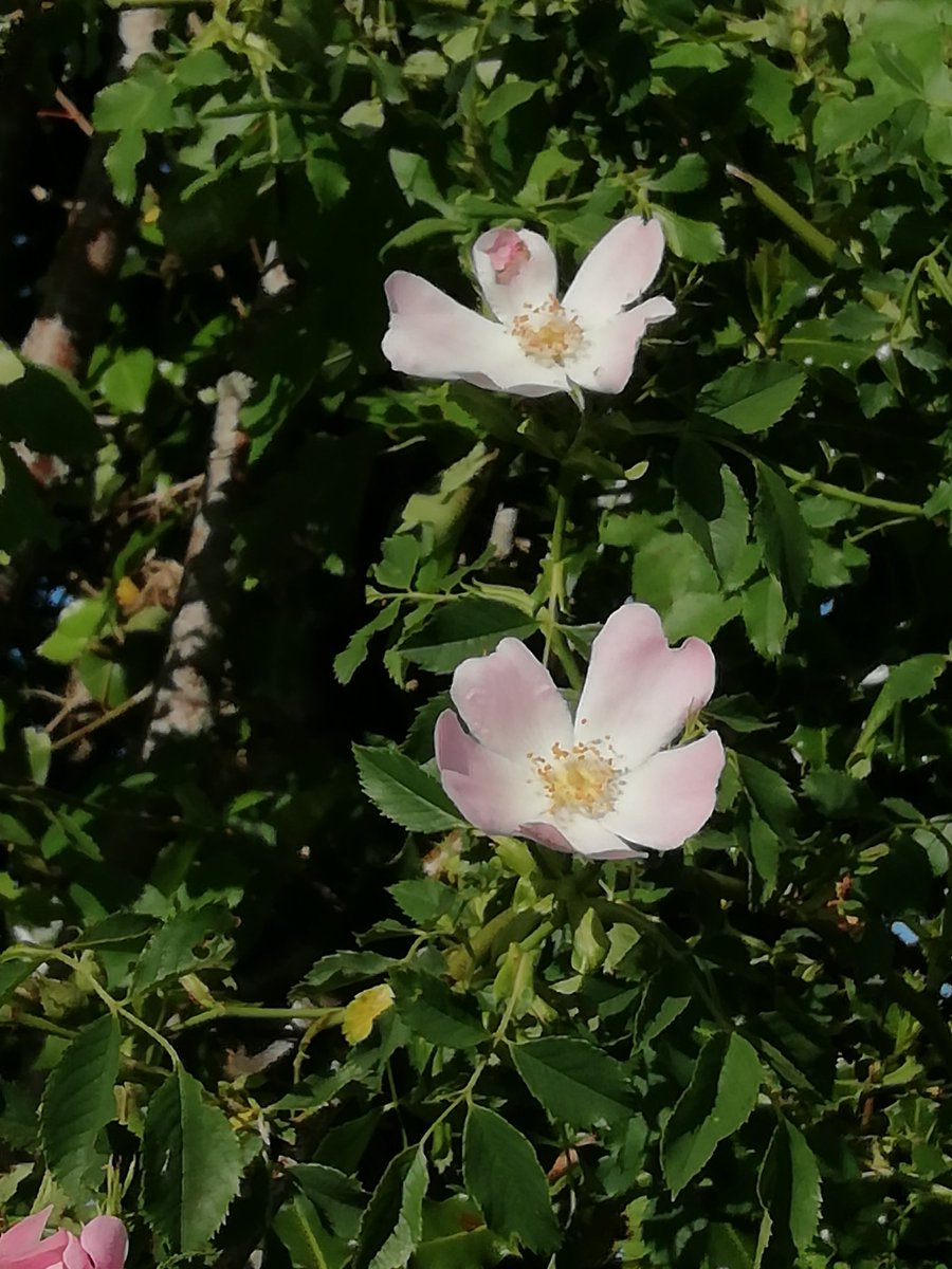 Spotted on a walk - I think these are dog roses (Rosa canina: Rosaceae), a lot have suddenly started flowering 😌🌸  #Botany #Ecology #DogRose #Flowers #Wildflowers #Rosaceae