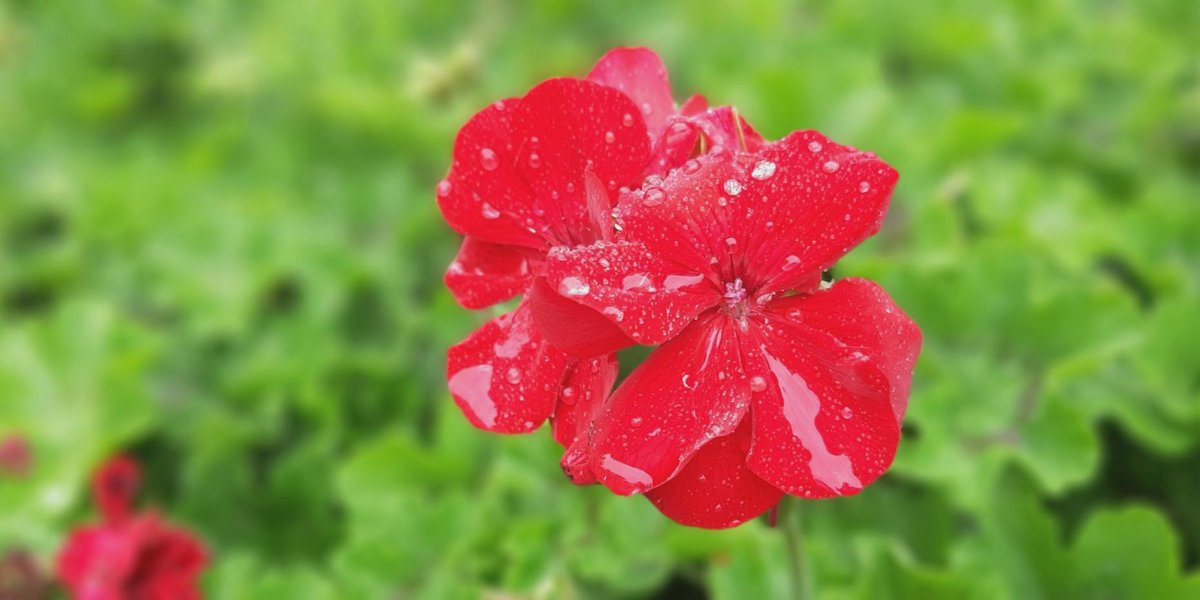 Our Bloom of the Week is the Geranium which can be found in our local parks. The flower is a genus of over 400 species.  Let us know what's blooming in your garden by tagging @cityofcoquitlam and #CoquitlamSPIRIT. Check out  for more outdoor ideas. #flowers