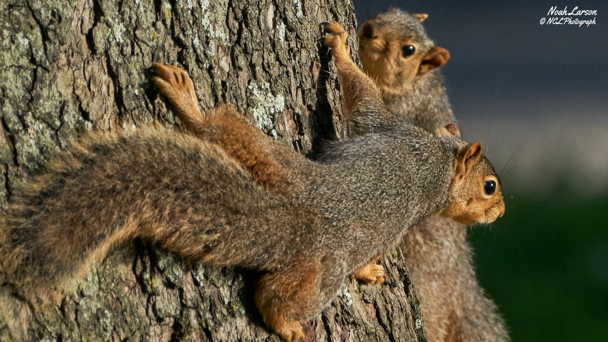 I found a pair of cute Fox Squirrels at an Ohio State park where I was celebrating Memorial Day. They were super curious about our presence. One of my friends let out a scream as they brushed past their leg. I'm not sure who was more surprised.   #nature #photography pic.twitter.com/r7tgGWQUoM