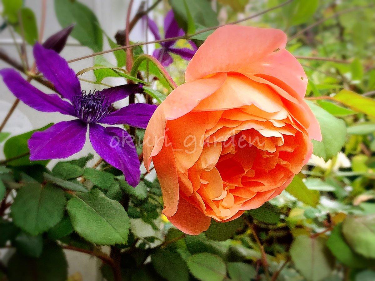 めっちゃイイ天気🎶 今日も元気に頑張ろう(*´꒳`*)✨  ささっお弁当6つ…。。  ↓↓↓ 透明感のある微妙なグラデーションが美しいエマさん🎶 四季咲き、コンパクト、香り良し。  #薔薇 #バラ #ばら #レディエマハミルトン #デビッドオースチン #ER #クレマチス #クレマ #アフロディーテエレガフミナ https://t.co/QLHkiYzQND