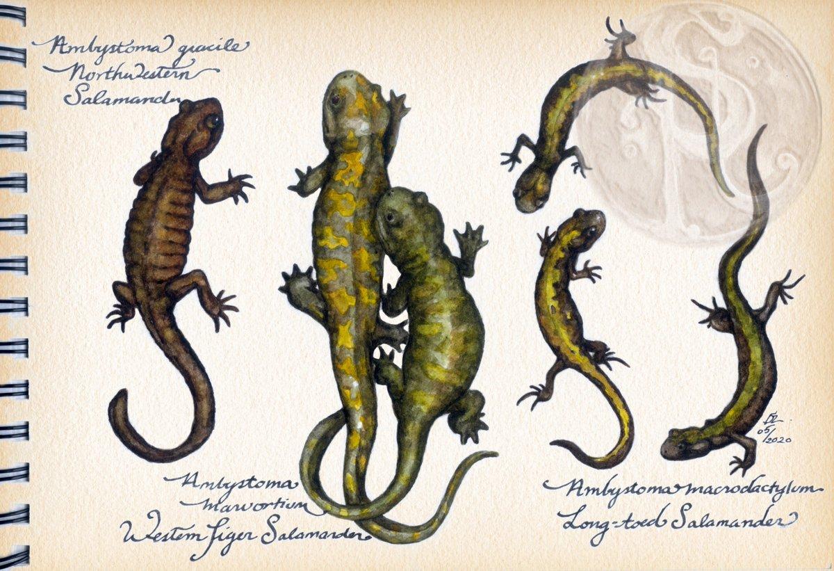 More herps!  #sciart #herpetology #biologicalillustration #ambystoma #amphibian #watercolour #artinthetimeofcovid #salamanders #caudatapic.twitter.com/bMNpfmIZ3N