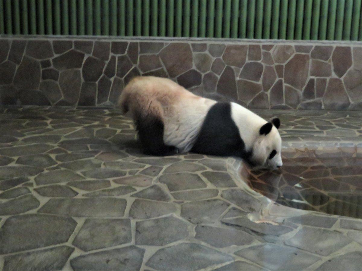 おしりをぷりっと上げたまま水を飲むタンタンさん。暑くなってきたので、皆さんも水分補給してくださいね!#きょうのタンタン #ジャイアントパンダ#タンタン #休園中の動物園水族館 (5/31まで休園中です)