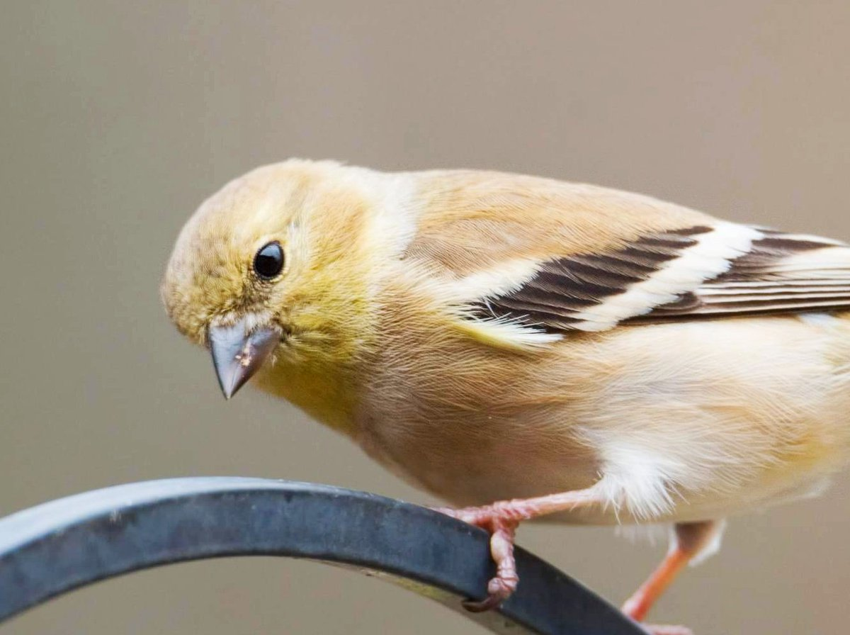 Goldfinch, a beauty #birds #wildlife #naturephotographypic.twitter.com/nC7rqqEwix