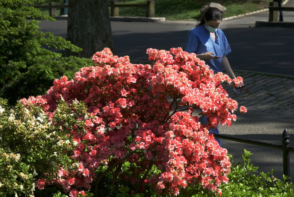 Coral colored Azalea? blossoms by Bethesda Terrace @CentralParkNYC (fortunate to find nurse crossing the park) @My_Cen_ParkNYC @NYCParks