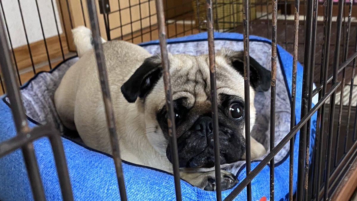 本日の1枚。  自前の前足であごのせの高さを調整してるのかな?  #pug #パグ #犬好きさんと繋がりたいpic.twitter.com/KbLBc8v8P4
