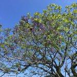 Image for the Tweet beginning: ジャカランダの花が咲きはじめました。 まだほんの一部の枝しか花が開いていませんが、これからが楽しみです。