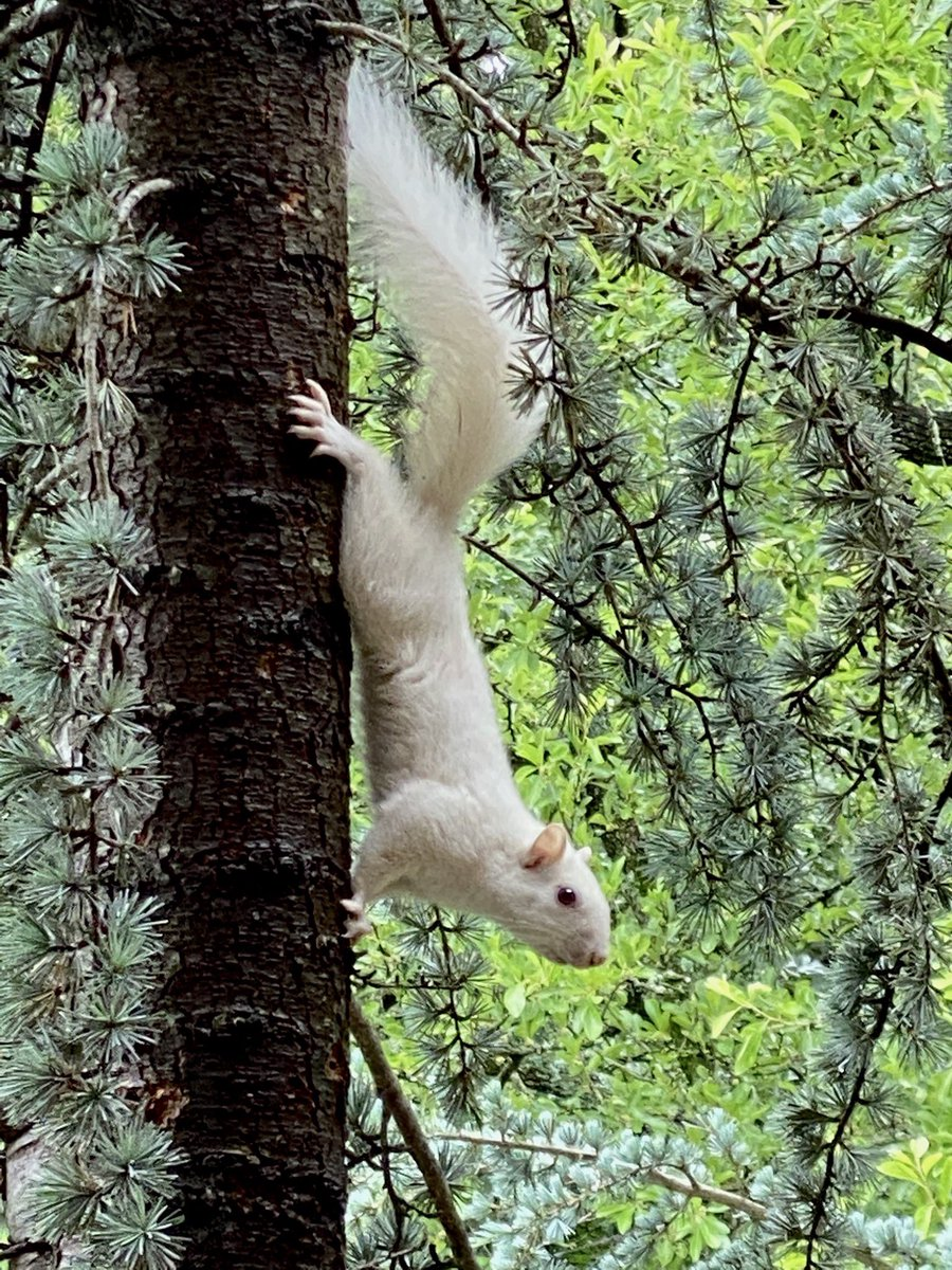 I was in my office at my desk. I  looked up & out the window in this albino squirrel was staring at me. I grab the camera opened the front door slowly. Wow it was just hanging out. #okwx https://t.co/sXt5Jlf67c
