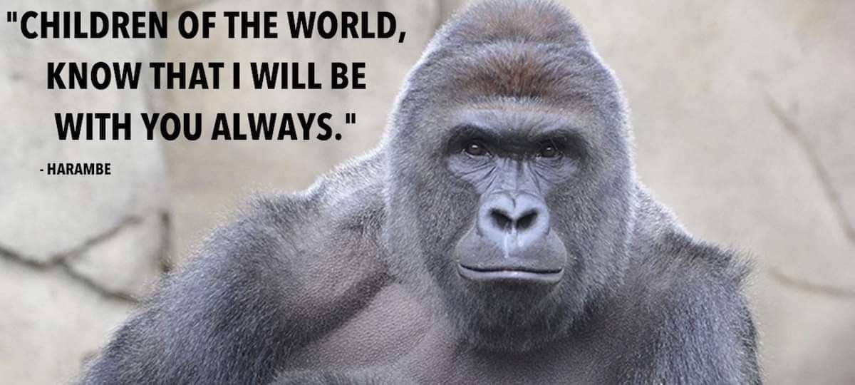 Today is the 4th Anniversary of the death of Harambe. Although I don't believe the zookeepers had any other option given the circumstance, the echos of this needless killing are still heard today. RIP Harambe and Happy 21st Birthday for yesterday, you majestic being #Harambe #F pic.twitter.com/Stkr1S7XjE