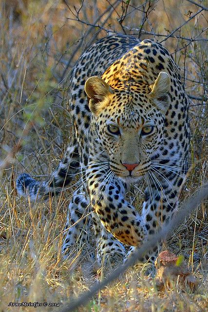 Leopard #photos #nature #animals #leopardspic.twitter.com/JFF7W0SGJ8