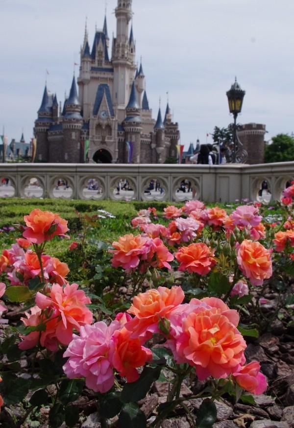 【休園中:TDL】この時期、キャッスルフォアコートを囲うように咲くディズニーランドローズ。咲き進むにつれ、濃いオレンジから明るいピンクに変化していくバラです。パレードのようなイメージで開発された品種なんですよ。Disney land rose- 舞浜植物図鑑