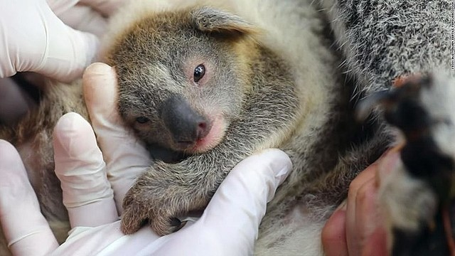 【お披露目】大規模な森林火災後初めて、豪州でコアラの赤ちゃん誕生オーストラリア爬虫類公園が発表。同園は「Ash」と名付け、野生生物の未来にとっての希望の証しと呼んでいるそう。