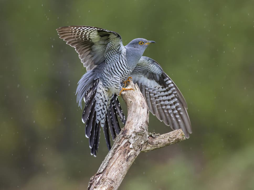 Cuckoo stuns scientists with longest migration ever recorded  https://www. independent.co.uk/news/world/asi a/cuckoo-migration-record-africa-mongolia-onon-a9534786.html   …  Bird displays 'remarkable navigation and endurance' in epic journey <br>http://pic.twitter.com/ouJFS3mnjQ