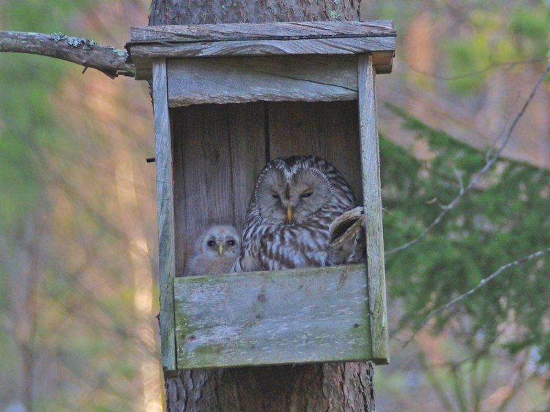 Our favourite photo of the week! This beautiful Ural owl is nesting with her chick near the canoe centre for Canoeing on the Tar Route in Kainuu in eastern Finland. Oh, and canoe bookings are also now open for 2021! #thursdaymorning #uralowl #finland naturetravels.co.uk/canoe-tours-fi…