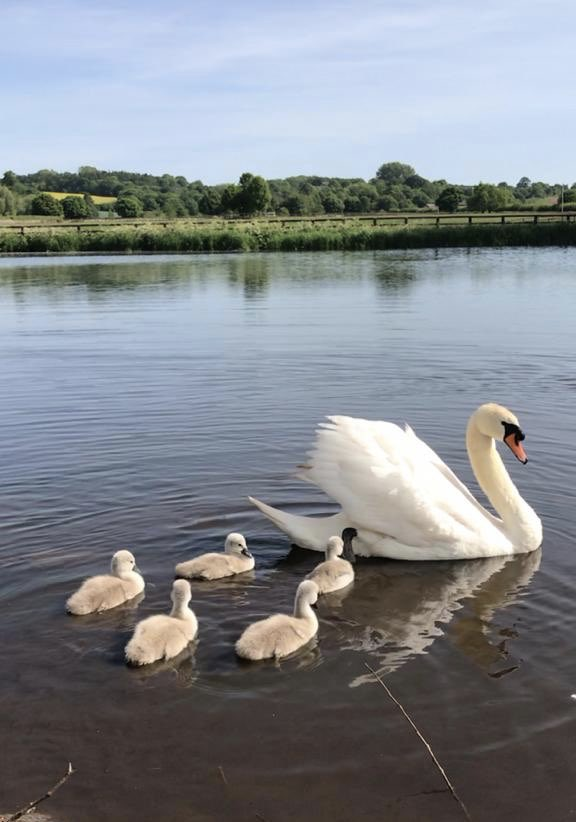 We breed quality birds as well as quality horses #cygnets #swans #Bearstone