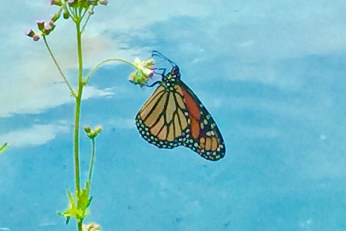 This monarch #butterfly has been feeding from the ageratum all morning!  Second day in the #garden.pic.twitter.com/IgEBaTOOe2