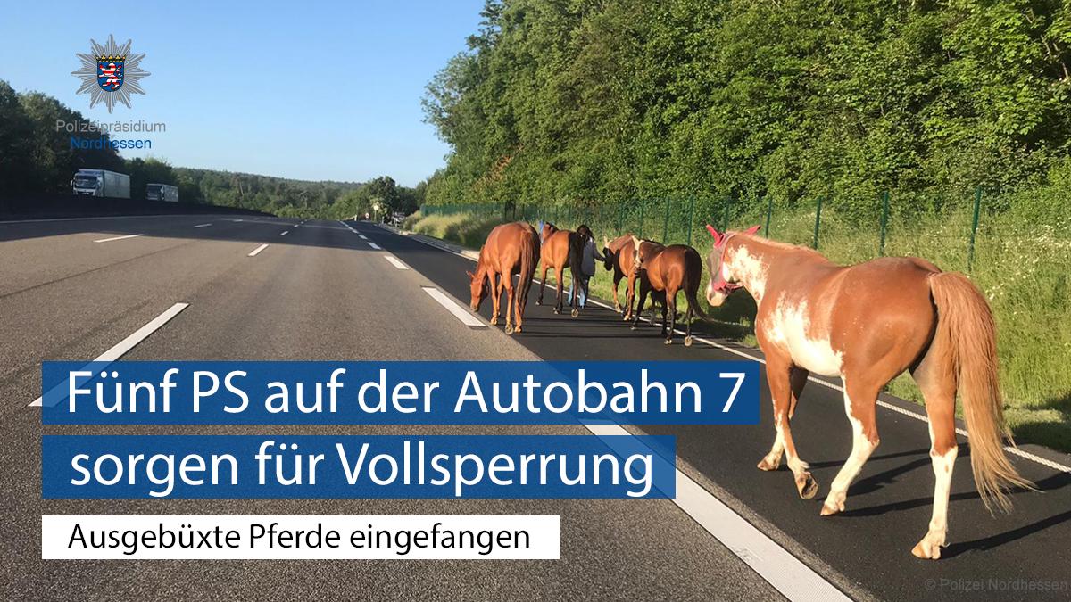 Vollsperrung ohne #Unfall heute Morgen auf der #A7 bei #Guxhagen.  Durch die tatkräftige Hilfe einer Verkehrsteilnehmerin gelang es, fünf Pferde einzufangen & in Sicherheit zu bringen.  Dabei führte die couragierte Pferdekennerin gekonnt die Ausreißer ab. Helfen statt gaffen.pic.twitter.com/Fxmq2Im12t