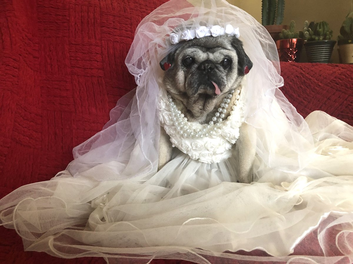 "Cape Breton #model Gertie is back to work & in support of those patiently waiting to plan their big day, shows the latest in classic #wedding gowns. As a #fashion tip Gertie reminds ladies choosing accessories, 'Don't forget the pearls!""  #thursdaymorning  #COVID19 #StaySafepic.twitter.com/K1WCuTbpqr"