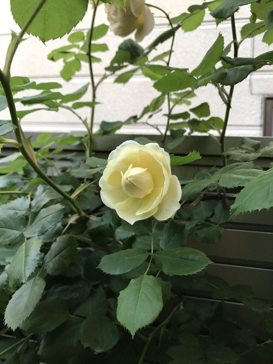 夕方、面白い咲き方のバラがありました。普通の子と比較🙂 #バラ #ティージングジョージア #デビッドオースチン https://t.co/1z1OIijO9x