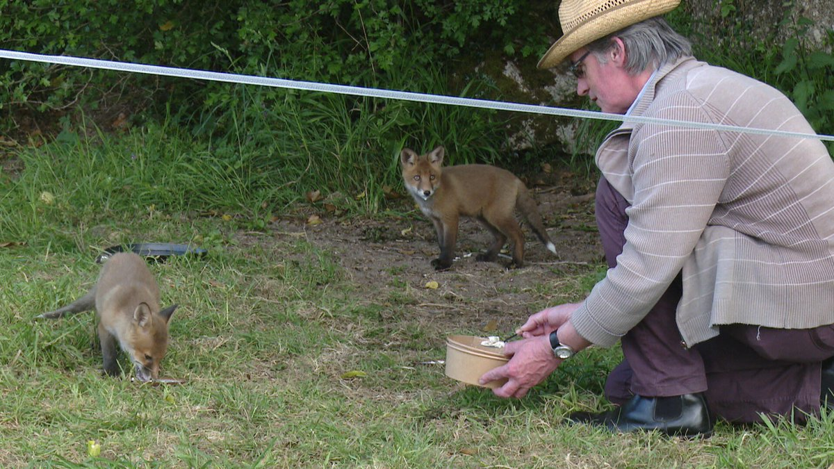 "An unusual friendship between #cocooning #farmers and foxes during #COVID19  ""A welcome distraction from the boredom of #lockdown2020 "" said farmer Martin Guinan who is raising two orphaned fox cubs. While 90 yr old Tony Bergin feeds his fox daily. pic.twitter.com/sn39mCWoLF"
