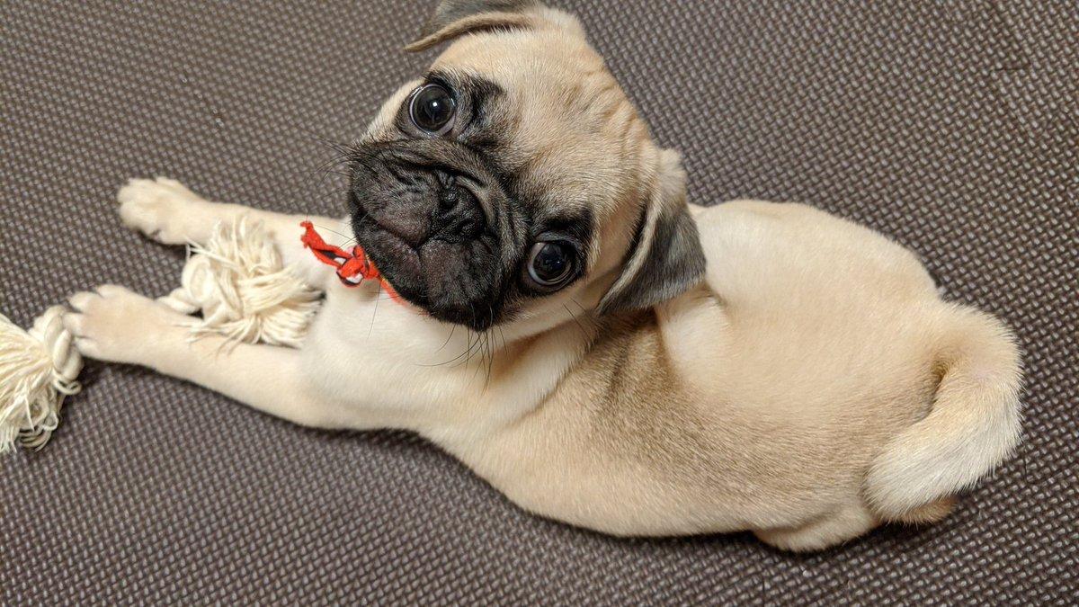 天使と悪魔  #パグ #子犬 #犬のいる暮らしpic.twitter.com/MQIBlNLCv8