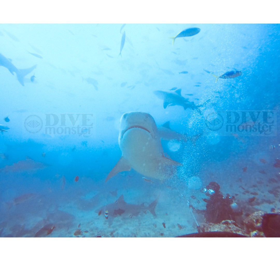 Diving with the Sharks in Fiji 🇫🇯 #scuba #scubadiving #scubaboard #divemonster #thedivemonster #divemonsterco #goprohero7