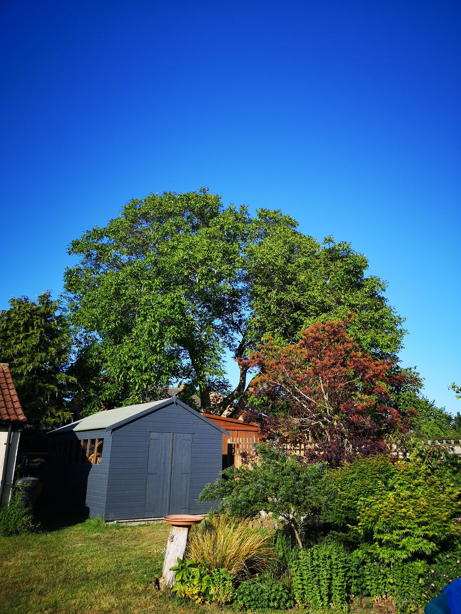 This beautiful old Walnut Tree has been standing for almost 100 years, gorgeous tree...how do I find out if it has a preservation order on it? #treepreservation #naturalenglishtree #walnut