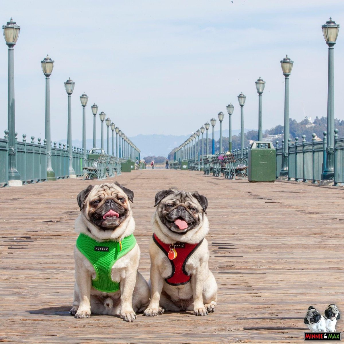 That day in 2013 when we took a short walk on a long pier.  #ThrowbackThursday #SanFrancisco #pug pic.twitter.com/G66Sza0SzJ