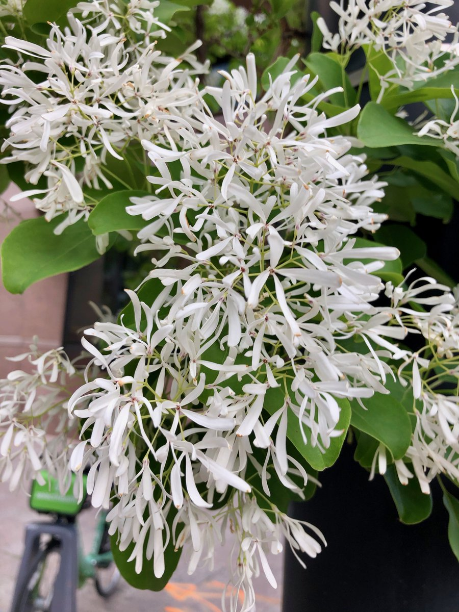 Chinese Fringetree (Chionanthus retusus) flowering on the streets of Salt Lake City. Member of the #Oleaceae Olive family. Such a great flowering tree for late spring. <br>http://pic.twitter.com/VlBBeEVBM3